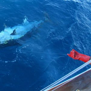 Giant Bluefin tuna fishing in La Gomera