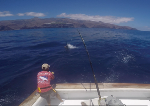 500 lbs Blue marlin released
