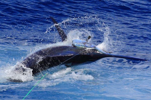 Fishing for blue marlin in La Gomera (Canary Islands)