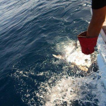 Un beau thon rouge attrapé et relâché